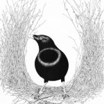 satin_bowerbird_awaiting_his_pleasure
